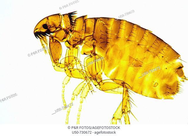 Dog Flea, Ctenocephalides canis, Siphonaptera, Pulicidae, 100 X