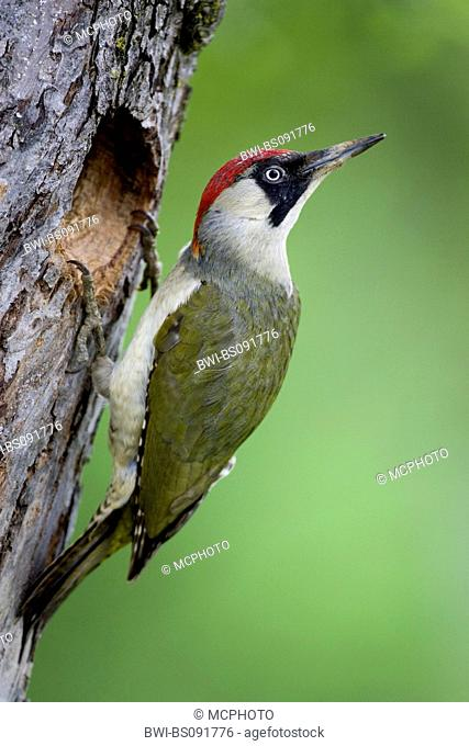 green woodpecker (Picus viridis), female sitting in front of tree hole, Austria