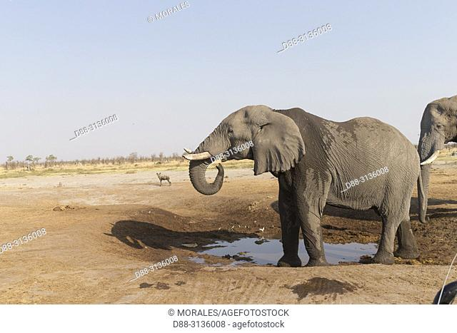 Africa, Southern Africa, Bostwana, Savuti National Park, African bush elephant or African savanna elephant (Loxodonta africana)