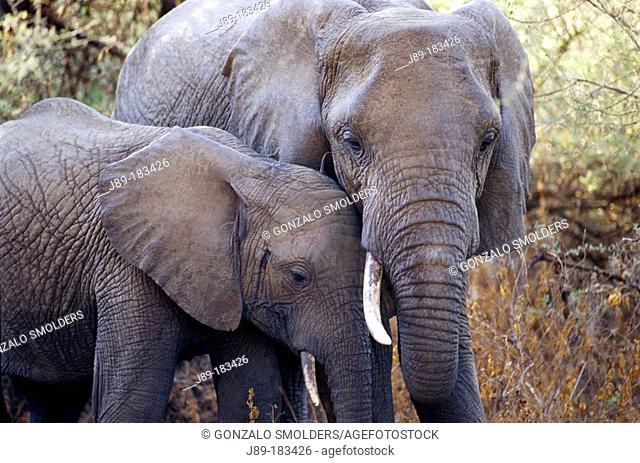 African Elephants (Loxodonta africana). Lake Manyara NP. Tanzania