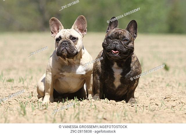 Dog French Bulldog two adults sitting on the ground