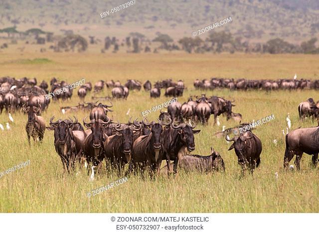 Connochaetes. Big herd of Wildebeests grazing in Serengeti National Park in Tanzania, East Africa