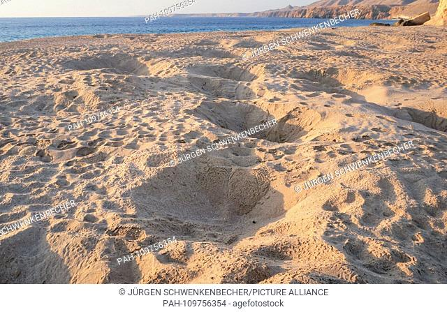 Marked nest pits characterize a protected beach section near Ras al-Jinz (Oman). The holes were left by Green Sea Turtles (Chelonia mydas) laying their eggs at...
