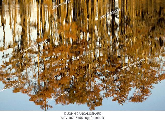 Bald Cypress Trees - reflection in Swamp Water, autumn (Taxodium distichum)