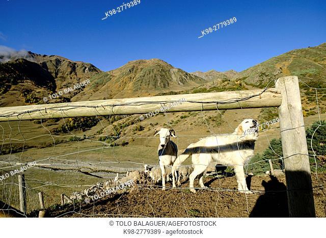 Flock of sheep and sheepdog, Corrau d'Unha, Unha valley, Aran valley, Lleida, Pyrenean mountain range, Catalonia , Spain