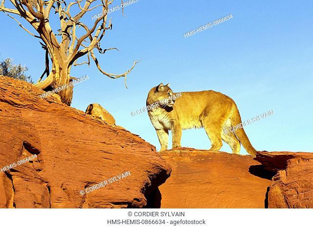 United States, Utah, near Moab, Cougar or Mountain Lion (Puma concolor)
