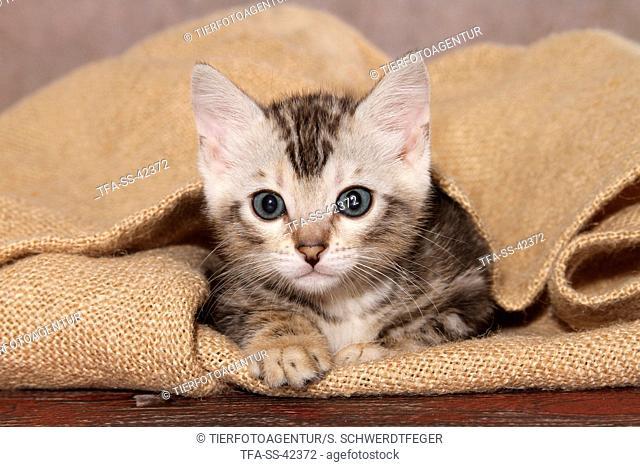 lying Bengal Kitten