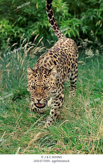 Amur leopard, (Panthera pardus orientalis), adult stalking, Asia