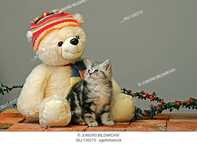 British Shorthair - with Teddybear