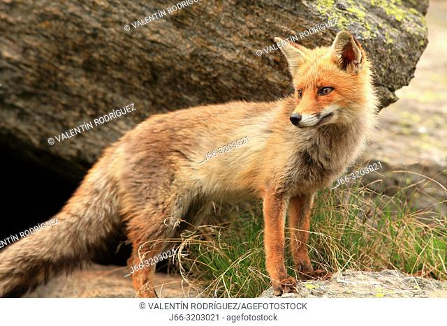 Fox (Vulpes vulpes) in the National Park Gran Paradiso. Italy