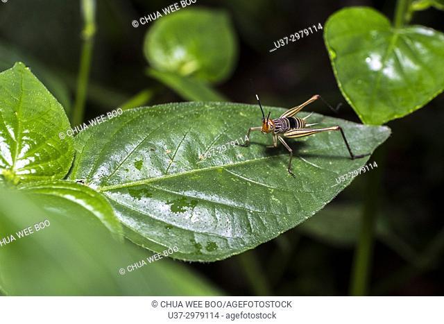A cricket. Image taken at Kampung Skudup, Sarawak, Malaysia