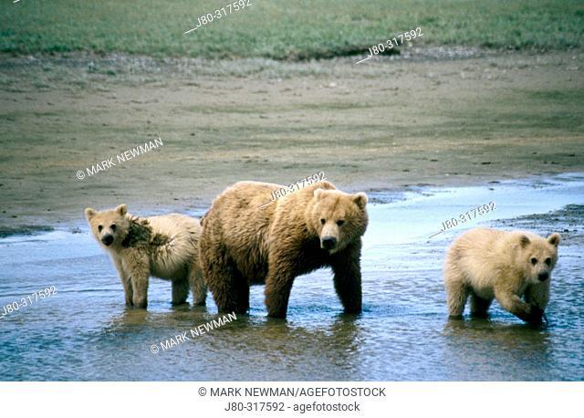 Brown bear mother and cubs (Ursus arctos). Hallo Bay. Outer Katmai coast. Alaska. USA
