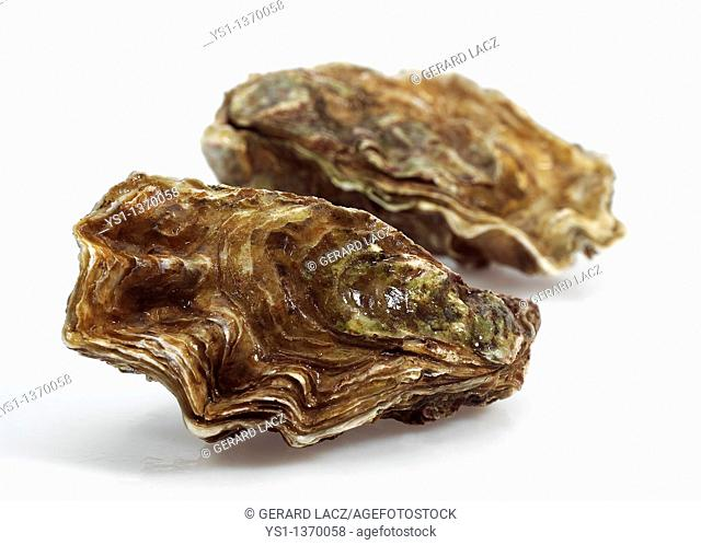FRENCH OYSTER MARENNES D'OLERON ostrea edulis AGAINST WHITE BACKGROUND