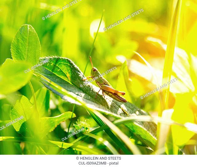 Close up of grasshopper on green leaf
