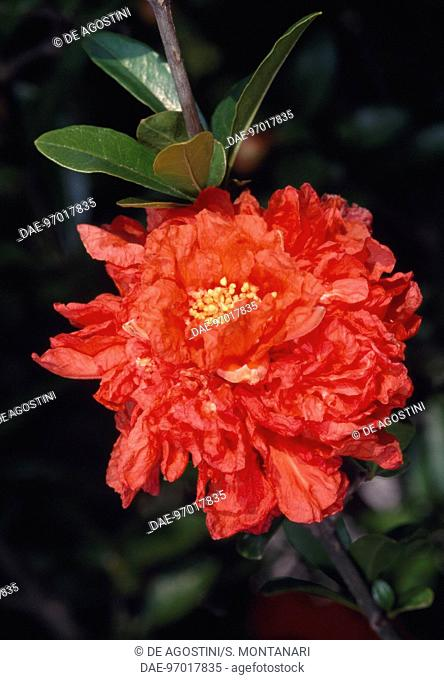 Hybrid of Pomegranate flowers (Punica granatum), Punicacee