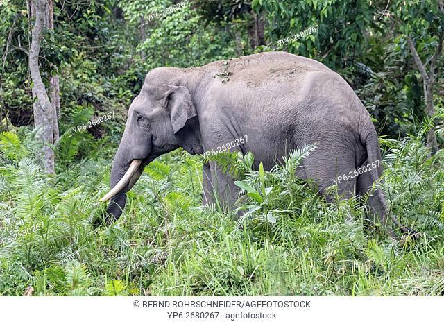 Asian elephant (Elephas maximus), male in forest, endangered species, Kaziranga National Park, Assam, India