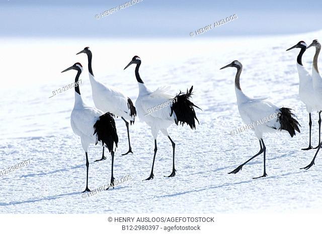 Japanese crane, Red-crowned crane (Grus japonensis) group, Japan