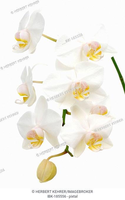 Orchid (Phalaenopsis schilleriana)