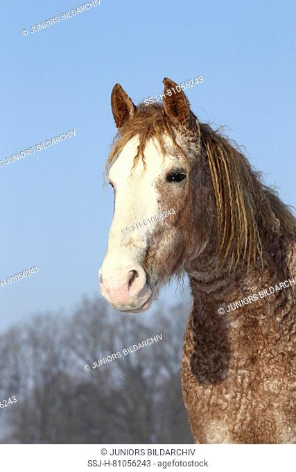 Curly Horse. Portrait of mare in winter coat. Germany
