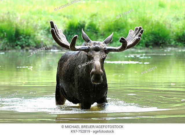 European moose (Alces alces) in lake, Sweden, Scandinavia
