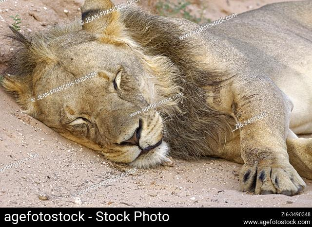 Black-maned lion (Panthera leo vernayi), adult male, sleeping on the side of a dirt road, Kgalagadi Transfrontier Park, Northern Cape, South Africa, Africa