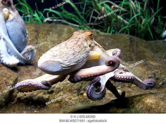 common octopus, common Atlantic octopus, common European octopus Octopus vulgaris, swimming, Ozeanarium