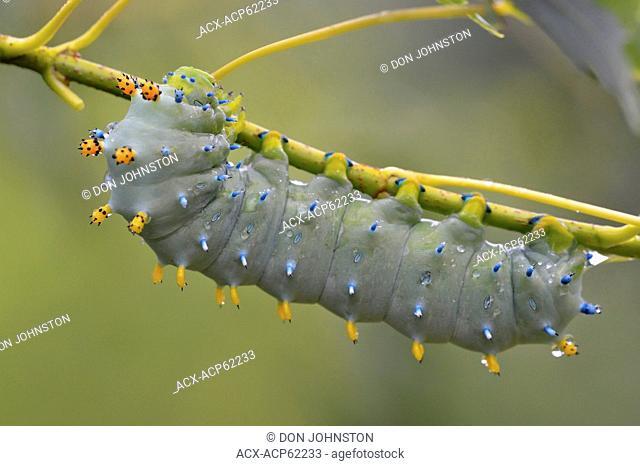 Cecropia moth (Hyalophora cecropia) Late instar caterpillar in Manitoba maple tree