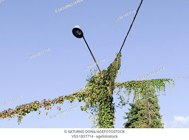 Lamp post covered with Ivy Hedera helix