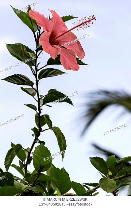 Pink hibiscus rosa-sinensis, known as Chinese hibiscus, China rose, Hawaiian hibiscus, rose mallow and shoeblackplant - Varadero, Cuba
