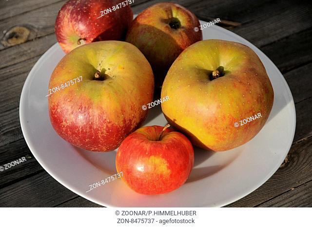 Malus domestica Boskoop, Apfel, Apple, großfrüchtig