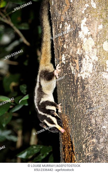 Rarely seen Striped possum - Dactylopsila trivirgata on tree in the Wet tropic rainforest of Queensland, Australia