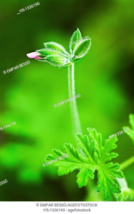 Pelargonium graveolens, geranium. Valencia. Spain