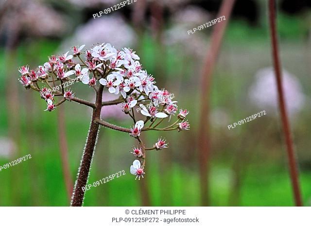 Umbrella plant / Indian rhubarb Darmera peltata in flower, native to North America