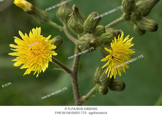 Marsh Sowthistle (Sonchus palustris) close-up of flowers, growing on waterside, The Broads, Norfolk, England, August
