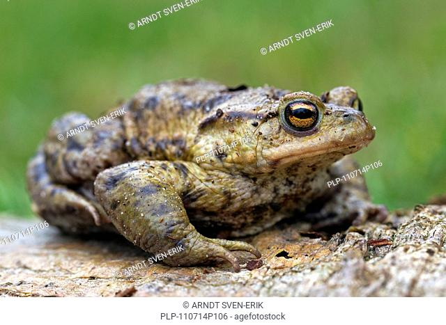 Common Toad, European Toad Bufo bufo in spring, Germany