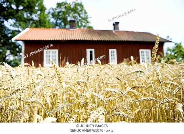 A red house with a field of oats in the foreground, Sweden
