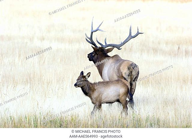 Elk (Cervus elaphus), bull with calf during fall rut in open meadow, Yellowstone National Park, Wyoming