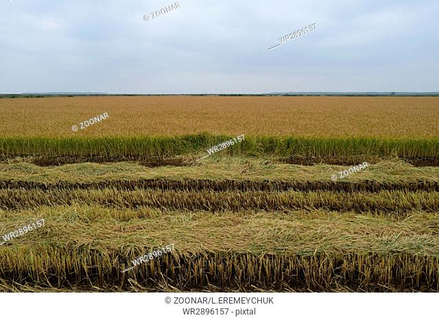 Field rice harvest began