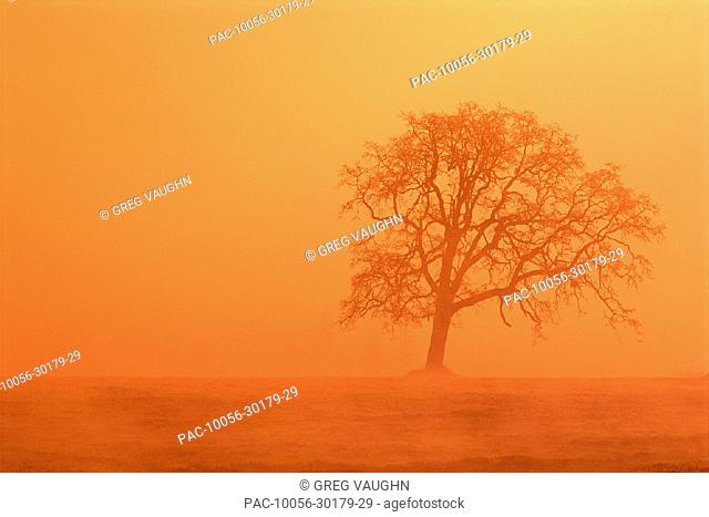 Oregon, Willamette Valley, view of oak tree through fog at sunrise, orange haze