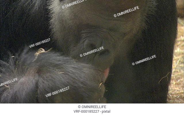 Close up of Gorilla eating