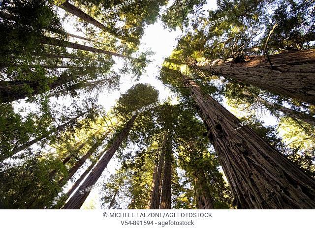 Usa, California, Redwood National Park, Redwood Tree Forest
