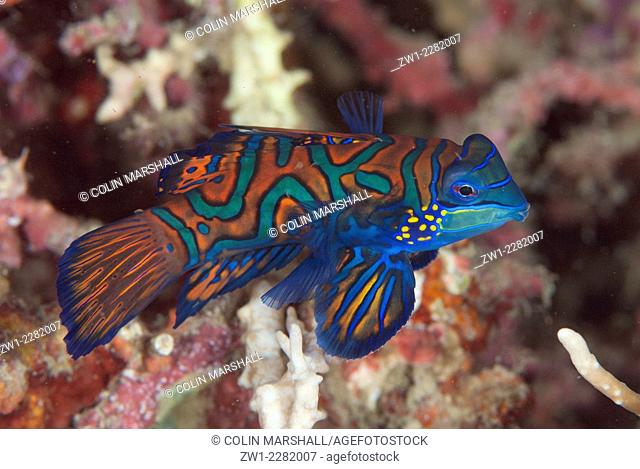 Mandarinfish (Synchiropus splendidus) with ornate markings amongst coral, Dusk dive, Lembeh Island Resort House Reef dive site, Lembeh Straits, Sulawesi