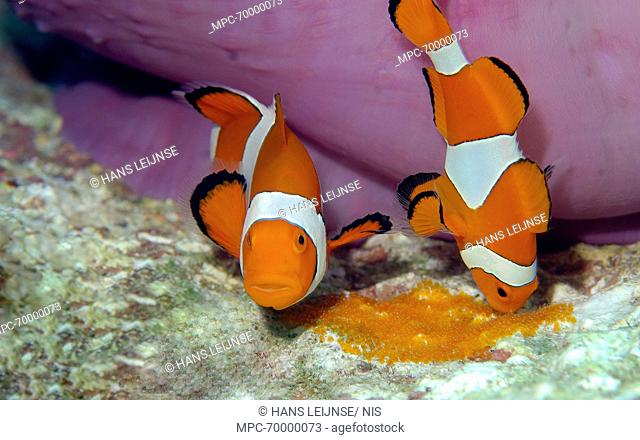 Clown Anemonefish (Amphiprion ocellaris) pair tending to eggs, Indonesia