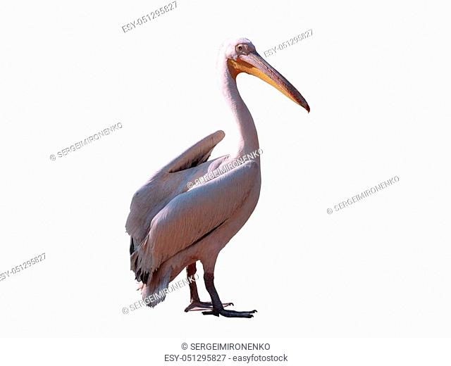 Pelican pink isolated at white