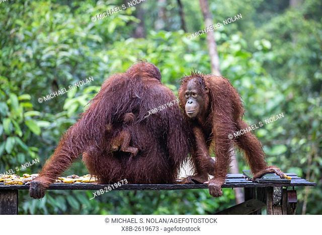 Reintroduced mother, child, and infant orangutan, Pongo pygmaeus, Camp Leakey, Tanjung Puting National Park, Borneo, Indonesia
