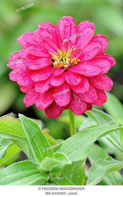 Pink Zinnia (Zinnia), brightly blooming summer flower, North Rhine-Westphalia, Germany