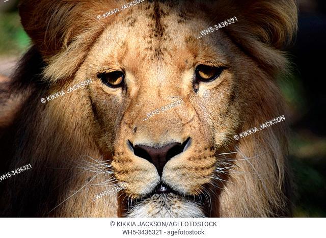 Gorgeous Portrait of Male Katanga Lion Head Closeup, Czech Republic