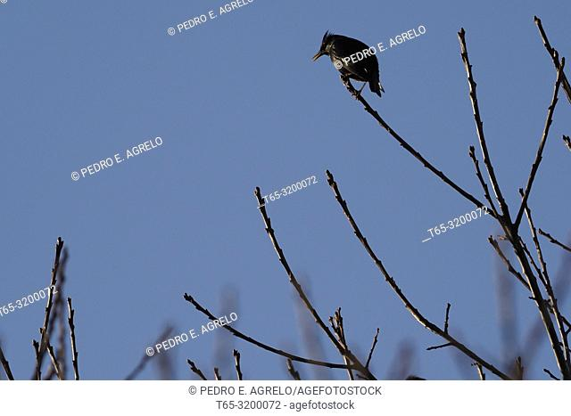 Several birds of the Starling family, Sturnus unicolor, in the branches of a Castaño in a Galicia forest