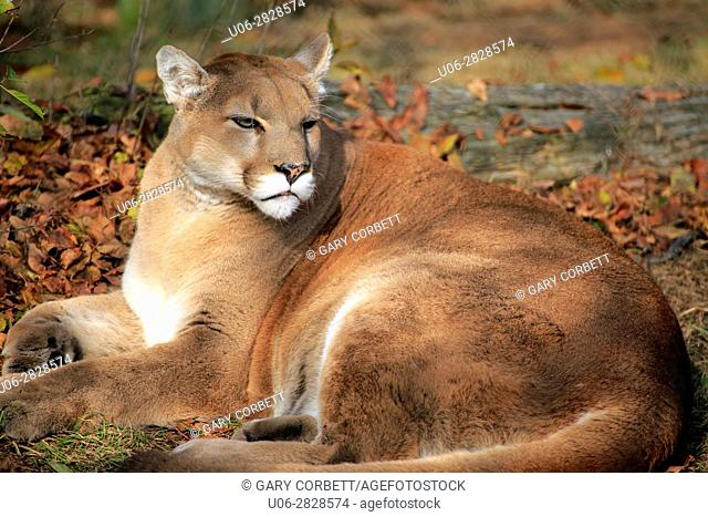 A cougar or mountain lion lying on the ground