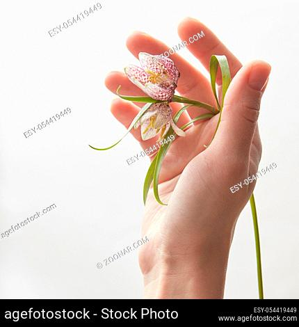 Woman's hand holding beautiful flower over white background. Female holding flowers and showing it to camera in studio